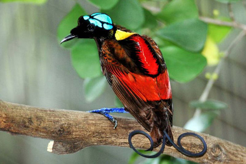Wilsons-Bird-of-Paradise