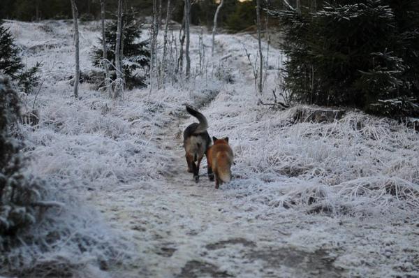rev og hund